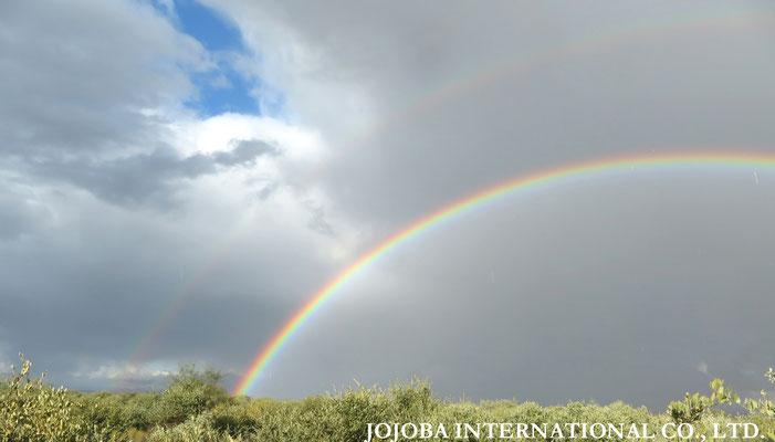 ♔ 神秘の植物 原種ホホバ(純粋種Sayuri原種ホホバ)と虹