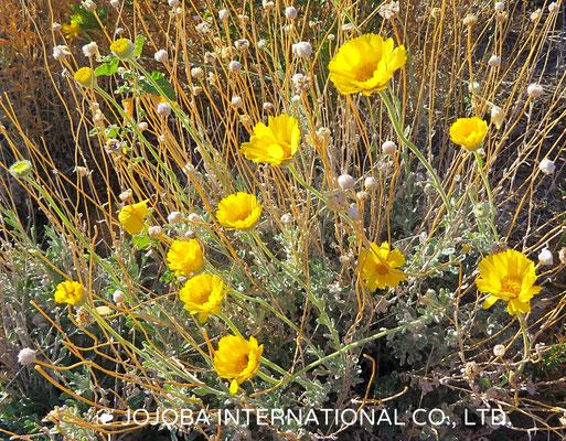 ❦ 野花(Desert Marigold Native Wildflower)アリゾナ州ハクアハラヴァレー原種ホホバ農園にて