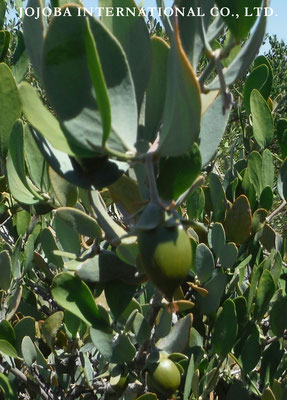 ♔ Growing Jojoba ♪
