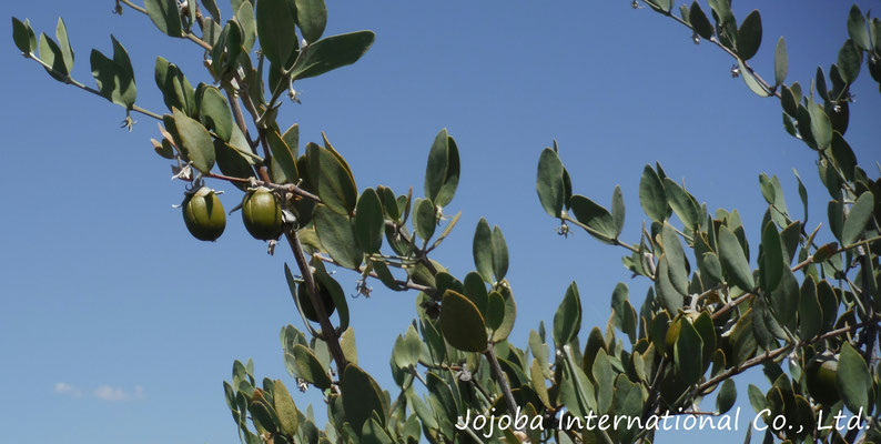♔ 父の日 Happy Father's Day ♪ Growing jojoba ♪