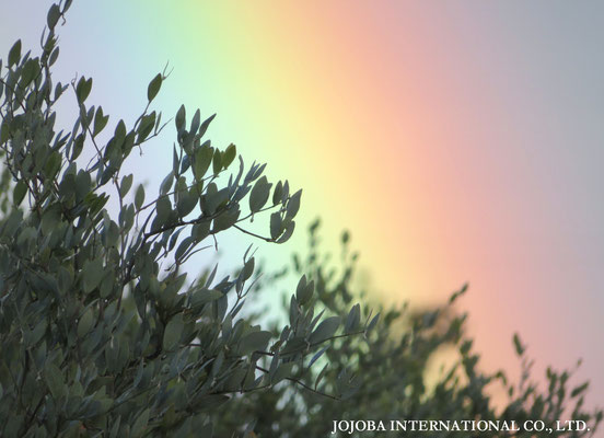 アクアカリエンテの美のマジック鉱泉で潤った高品質を誇るアリゾナ州原産神秘の植物・原種のゴールデンホホバオイル『ホホゴールド』です。