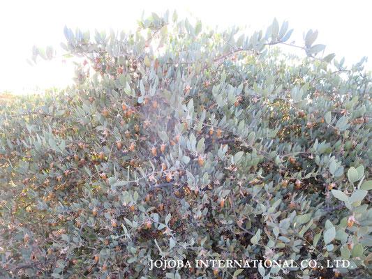 ♔ 神秘の植物 原種ホホバ(純粋種Sayuri原種ホホバ 雌・Queen)7月 於: 原種ホホバの聖地アリゾナ州ハクアハラヴァレー