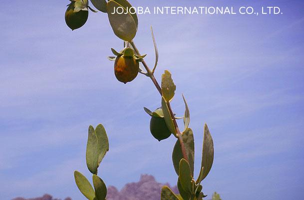 ♔ 【神秘の植物 原種ホホバ種子(純粋種Sayuri原種ホホバ 雌・Queen)5月】