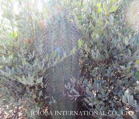 ♔ 原種ホホバの聖地アリゾナ州ハクアハラヴァレー☆彡 原種ホホバとサワロカクタス