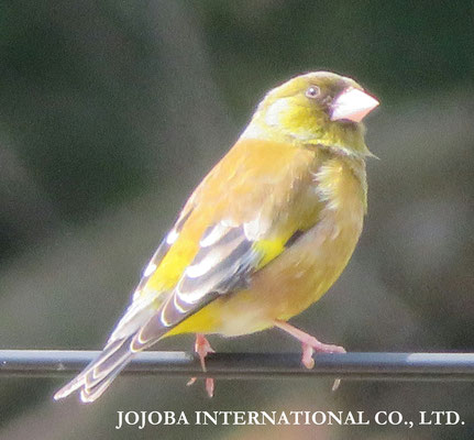 ♔ 黄色い鳥