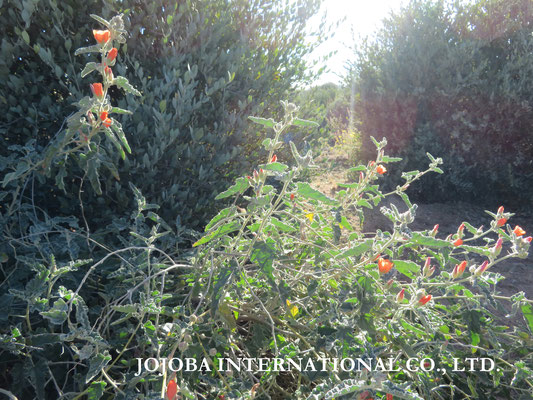 ♔ Orange Desert Globemallow