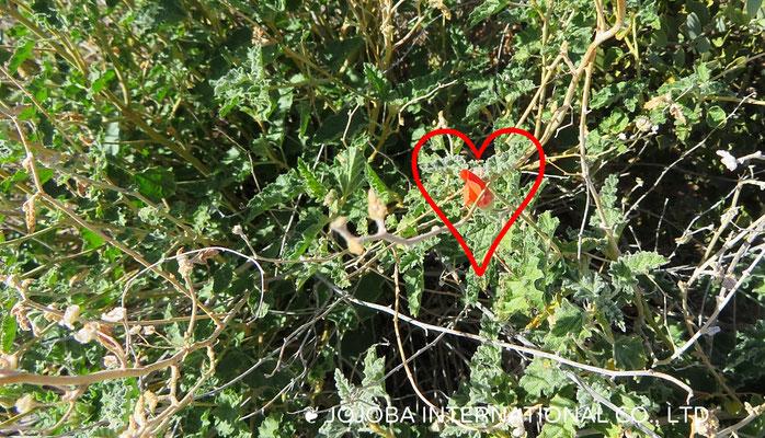❦ 野花(Orange Desert Globemallow)アリゾナ州ハクアハラヴァレー原種ホホバ農園にて