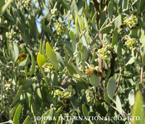 ♔ JOJOBA INTERNATIONAL CO., LTD.