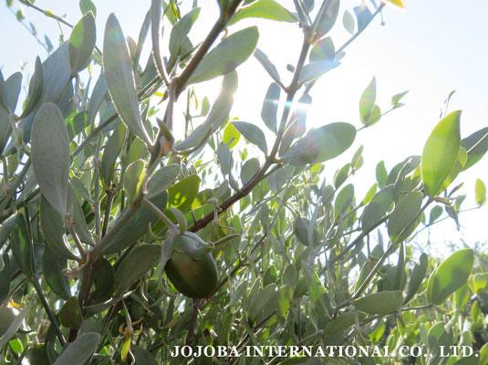 ♔ 原種ホホバの聖地・自生地アリゾナ州ハクアハラヴァレー 純粋種Sayuri原種ホホバ