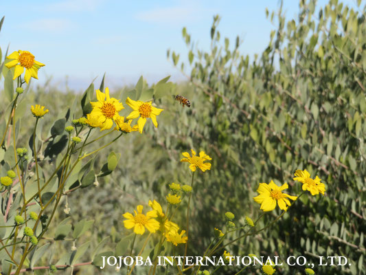 ♔ Jojoba with Brittlebush & Bee