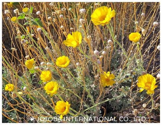 ❦ Desert Marigold Native Wildflower