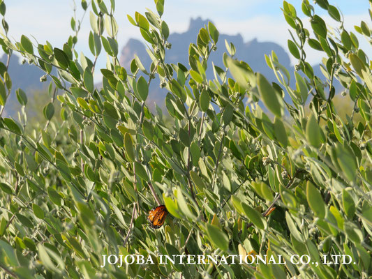 ♔ Jojoba with Queen Butterfly