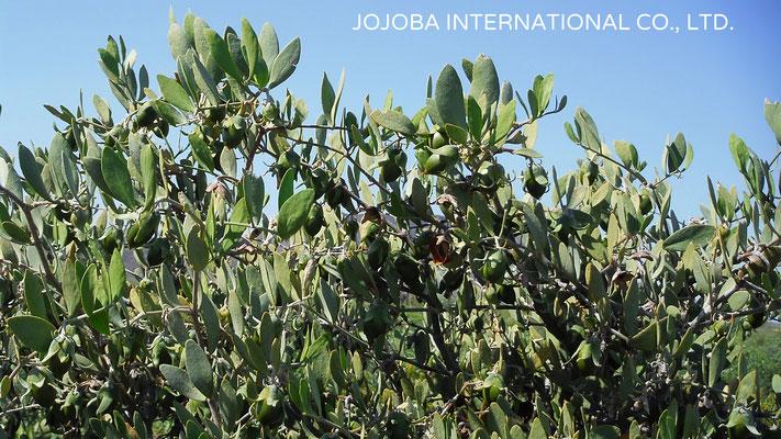 ♔ 神秘の植物 原種ホホバ(純粋種Sayuri原種ホホバ 雌・Queen)4月