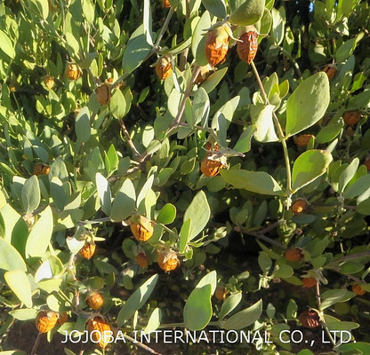 ♔ 神秘の植物 原種ホホバ(純粋種Sayuri原種ホホバ 雌・Queen)7月】 愛情一杯に育ちました❣手摘みで収穫し、殻を除いた神秘の植物 原種ホホバ種子を圧搾して高品質のホホバオイルを抽出します。