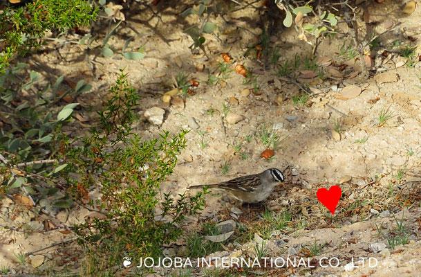 ❦ 野鳥 アリゾナ州ハクアハラヴァレー原種ホホバ農園にて