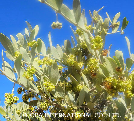 ♔ 神秘の植物 原種ホホバ(純粋種Sayuri原種ホホバ)のお花(雄)とハクアハラ蜜蜂