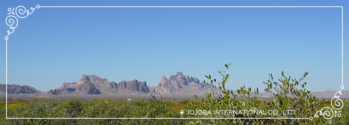♔ JOJOBA SPRING: NEW GROWTH, NEW BEAUTIFUL FLOWERS AND NEW JOJOBA SEEDS ♪