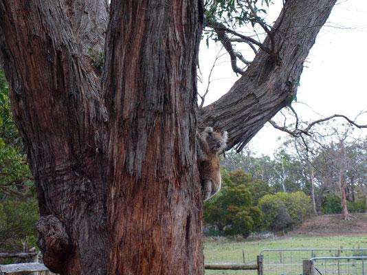 ..einen wilden Koala zu sehen :-)