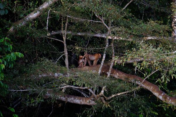 Longtail Makak