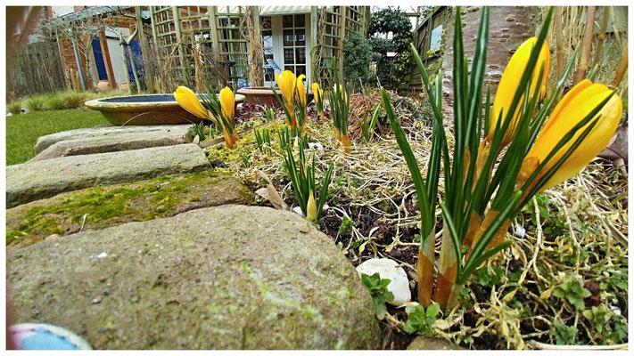 Krokussen in ons tuin