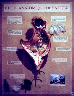 étide anatomique de la Lulu de Vénus
