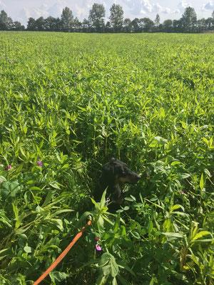 Winterzwischenfrucht 2017 - Ramtillkraut, Hafer, Erbse und verschiedene Gräser
