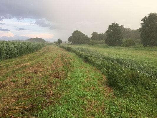 Greeningstreifen zwischen Graben und Mais - Wir haben 18 ha dieser Streifen unter ökologischem Vorrang