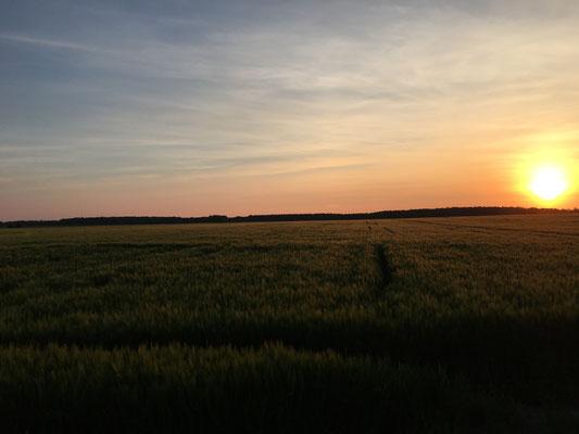 Sonnenuntergang über dem Gerstenfeld - gibt es was schöneres ;-) ?