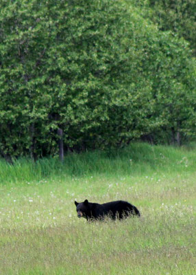 Bär Nr. 1 / bear no. one