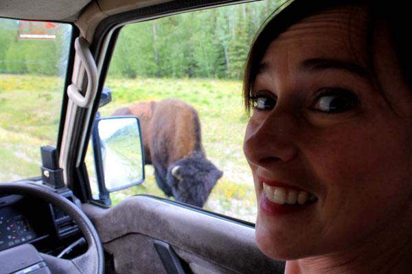 Bison am Wegesrand / bison just along the road