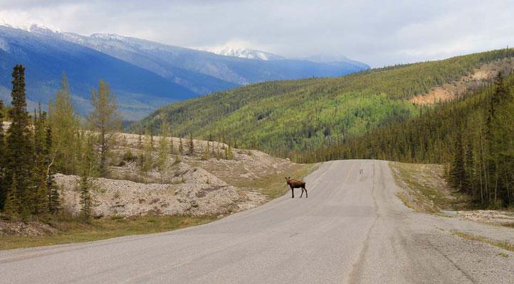 Moose auf dem Alaska Highway / Moose on Alaska Highway
