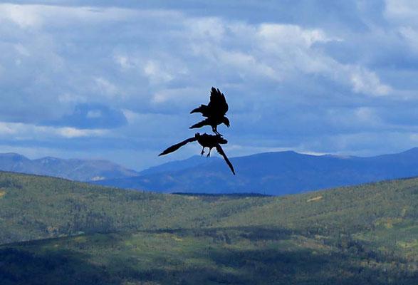 der Rabe, der Vogel des Yukon / ravens, bird of the Yukon