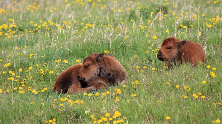 litte bison