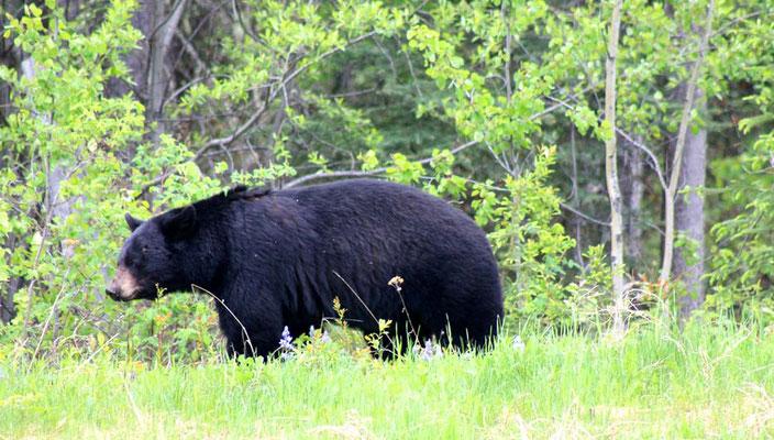 und wiedermal ein Bär / and again a bear