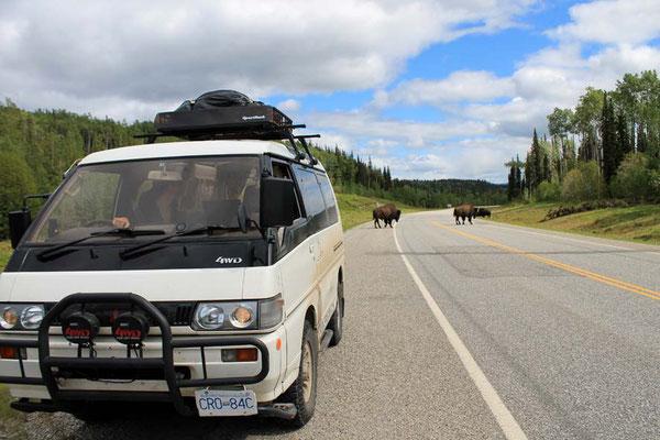 Yeti and Bison on Alaska Highway