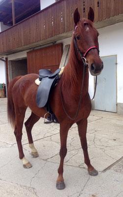 Mai 2014 - Ein richtiger Saddler mit neuem Saddle Seat Saddle aus Amerika