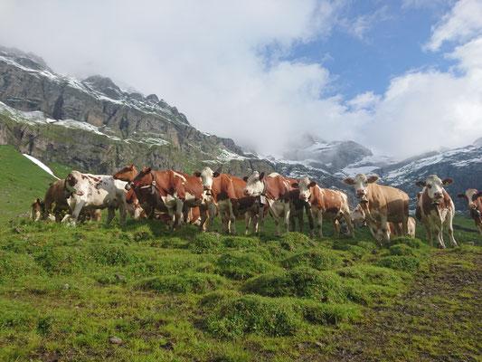 Kühe im Oberberg