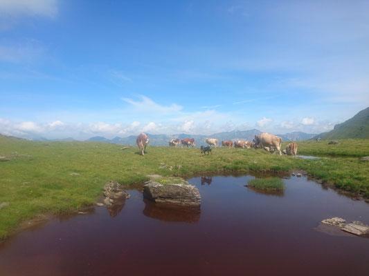 Kühe beim Schwarzeseeli