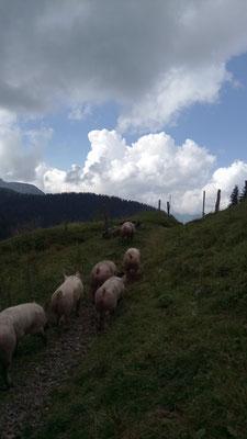 Schweine beim Trauffischopf