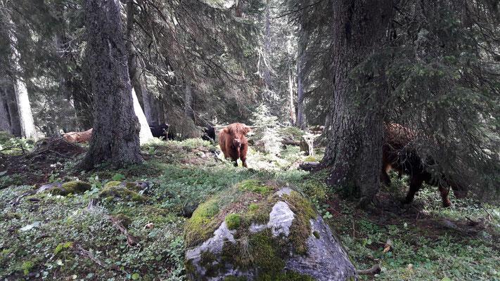 Schottisches Hochlandrind im Bödeli