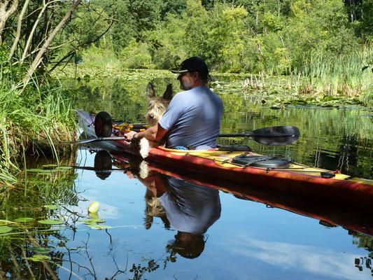 Berger de Picardie als Bootshund