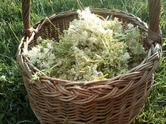 """Plante simple   """"sommités fleuries"""" Cueillette respectueuse"""