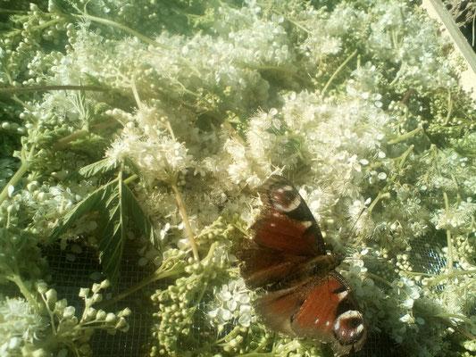 La Reine des prés et la Visite d'un papillon (Paon du jour, je crois)