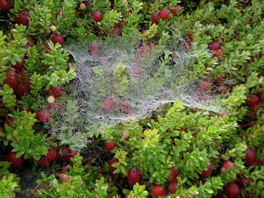 Cranberry Spinnennetz und Morgentau