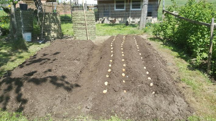 Kartoffel so wie Früher, aber in Komposterde.