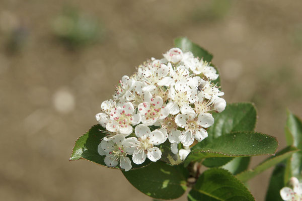Blütenstand von Aronia arbutifolia