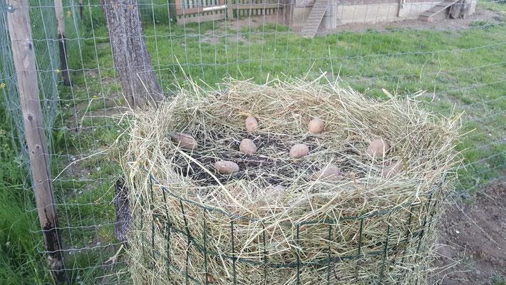 Kartoffelturm 2018 mit Komposterde von 2017 und aus mit Heu das die Erde nicht durch das Gitter fällt, beide letzten reihe auch in der Mitte Kartoffel verteilen.