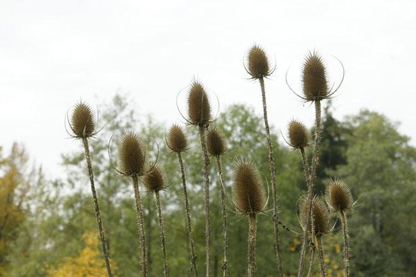 Als Heilpflanze ist die Karde relativ unbekannt. Durch die Fähigkeit ihrer Wurzel gegen Borreliose zu helfen, gewinnt die Karde jedoch zunehmend an Bedeutung.