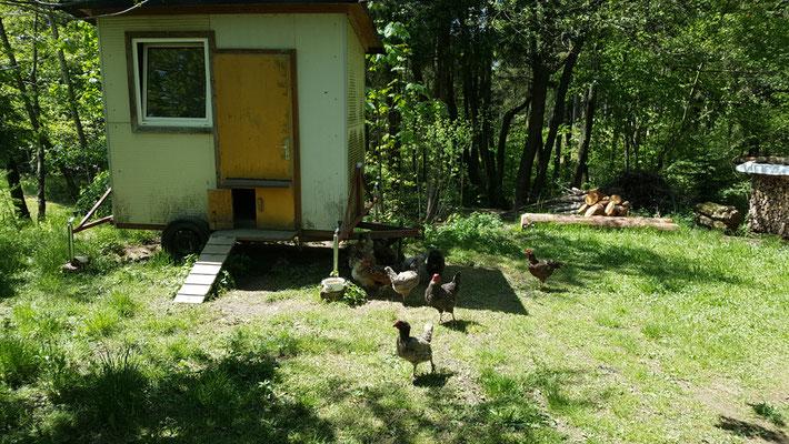 Unsere Hühner können auch in den Wald.