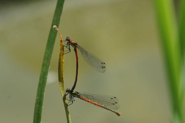 Männchen und Weibchen der Frühen Adonislibelle